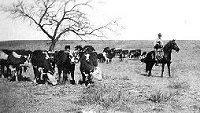 Cowboy watching cattle herd